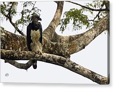 Harpy Eagle In Kapok Tree Acrylic Print by Pete Oxford