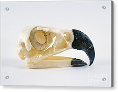 Harpy Eagle Skull Acrylic Print