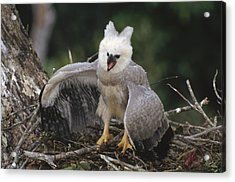 Harpy Eagle Threat Posture Amazonian Acrylic Print by Tui De Roy
