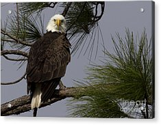 Harriet The Bald Eagle Acrylic Print by Meg Rousher