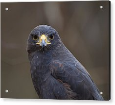 Harris Hawk Acrylic Print by Chris Flees