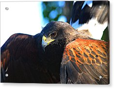 Harris Hawk - Close Up Acrylic Print