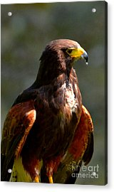 Harris Hawk In Thought Acrylic Print by Pravine Chester