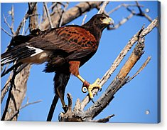 Harris's Hawk Acrylic Print by Bonnie Fink