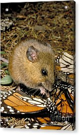 Harvest Mouse Eating Monarchs Acrylic Print by Gregory G. Dimijian