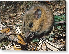 Harvest Mouse Feeds On Monarchs Acrylic Print by Gregory G. Dimijian