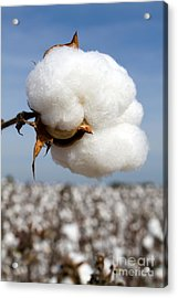 Harvest Ready Cotton Boll Acrylic Print