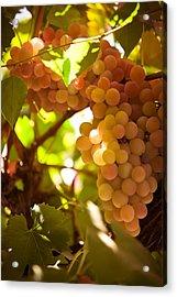 Harvest Time. Sunny Grapes IIi Acrylic Print by Jenny Rainbow