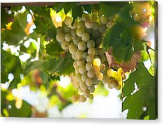 Harvest Time. Sunny Grapes Iv Acrylic Print by Jenny Rainbow