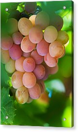 Harvest Time. Sunny Grapes Acrylic Print by Jenny Rainbow