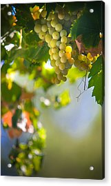 Harvest Time. Sunny Grapes V Acrylic Print by Jenny Rainbow