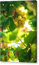 Harvest Time. Sunny Grapes Vii Acrylic Print by Jenny Rainbow