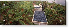 Harvesting Grapes In A Vineyard, Napa Acrylic Print by Panoramic Images