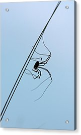Harvestman On A Grass Blade Acrylic Print