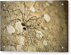 Harvestman Spider Acrylic Print by Chevy Fleet