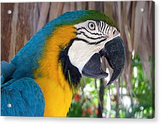 Harvey The Parrot 2 Acrylic Print