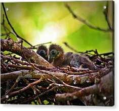 Acrylic Print featuring the photograph Hoatzin Hatchlings In The Amazon by Henry Kowalski
