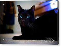 Havana Brown Cat Acrylic Print