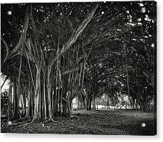 Hawaiian Banyan Tree Root Study Acrylic Print by Daniel Hagerman