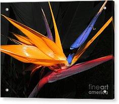 Hawaiian Bird Of Paradise Acrylic Print by Kristine Merc