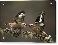 Hawfinch Males Fighting Gelderland Acrylic Print