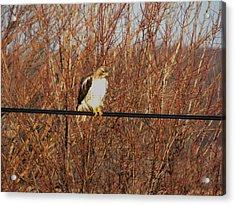 Hawk #22 Acrylic Print by Todd Sherlock