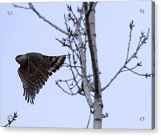 Hawk And Birch Acrylic Print by Valerie Wolf