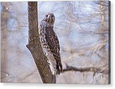 Hawk At Cypress Island Acrylic Print by Bonnie Barry