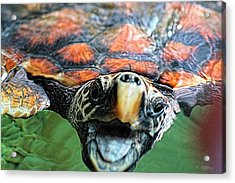 Hawk Billed Turtle Acrylic Print