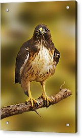 Acrylic Print featuring the photograph Hawk  by Brian Cross