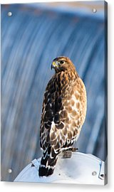 Hawk By The Waterfall Acrylic Print by Shelby  Young