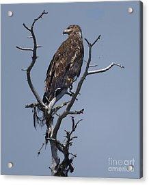 Hawk Eye Acrylic Print