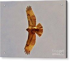 Hawk Flight Acrylic Print by Judy Via-Wolff