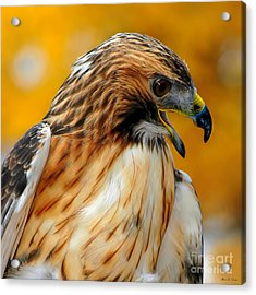 Acrylic Print featuring the photograph Hawk Hunt by Adam Olsen