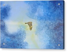 Hawk In Flight 2 Acrylic Print