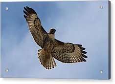 Acrylic Print featuring the photograph Hawk In Flight  by Christy Pooschke