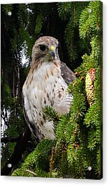 Hawk In Pine Acrylic Print by Michael Hubley