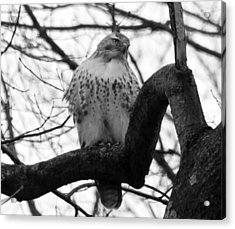 Hawk In Tree Acrylic Print by Valerie Wolf