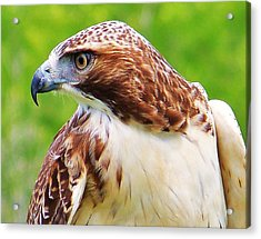 Hawk Is Focused Acrylic Print