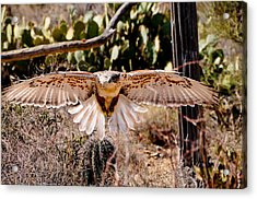 Hawk On The Hunt Acrylic Print by Bonnie Fink