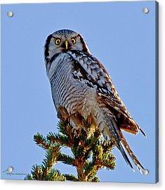 Hawk Owl Square Acrylic Print