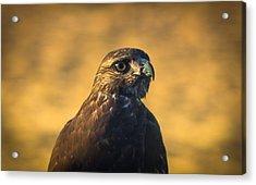 Hawk Stare Acrylic Print by Marc Crumpler