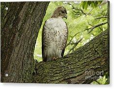 Hawk Stares Acrylic Print