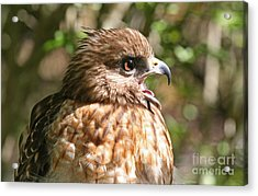 Hawk With An Attitude Acrylic Print