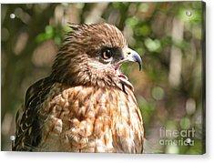 Hawk With An Attitude Acrylic Print