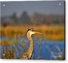 Hawking Heron Acrylic Print by Al Powell Photography USA