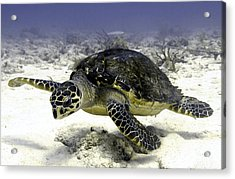 Hawksbill Caribbean Sea Turtle Acrylic Print