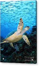 Hawksbill On Eldorado Acrylic Print by Carey Chen