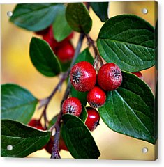 Hawthorn Berries Acrylic Print by Kjirsten Collier