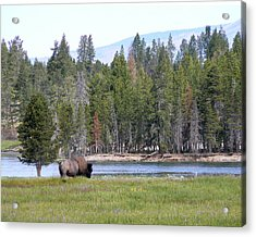 Hayden Valley Bison Acrylic Print by Laurel Powell